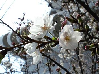 高津神社の祝い桜